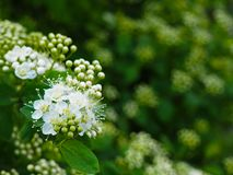 White spring Spiraea flowers blooming stock photo