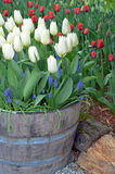 White spring tulips in barrel planter Royalty Free Stock Image