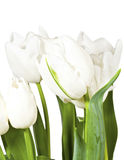 White spring tulips isolated on white background Stock Images