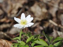 White spring wild flower anemone nemorosa Royalty Free Stock Photos