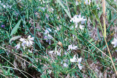 White spring wild  flowers. And green grass Stock Image