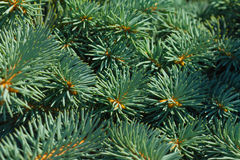 White spruce Stock Photo