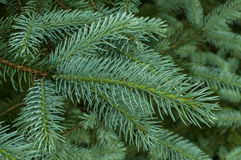 White spruce branch Royalty Free Stock Photos