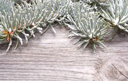 White spruce branch Stock Photo