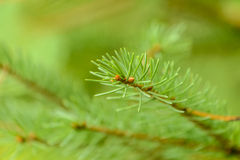 White Spruce. Closeup photograph of a white spruce branch stock photo