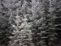 White Spruce Or Picea Glauca Covered in Hoar Frost Royalty Free Stock Images