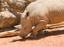 White (square-lipped) rhinoceros Royalty Free Stock Photo