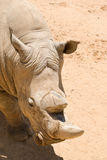 White (square-lipped) rhinoceros Stock Image