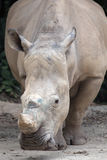 White Square-Lipped Rhinoceros Royalty Free Stock Images