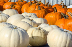 White squash and pumpkins Stock Images