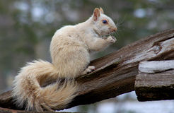 WHITE SQUIRREL Stock Photo