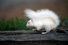 White squirrel Stock Photos