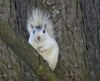 White Squirrel  Stock Photography