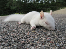 White Squirrel. An albino squirrel lays on a asphalt parking lot Royalty Free Stock Photo