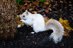 White Squirrel. In Boston, Massachusetts, USA royalty free stock photo