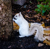 White Squirrel. In Boston, Massachusetts, USA royalty free stock images