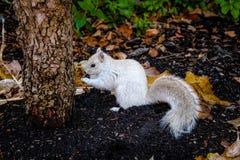 White Squirrel. In Boston, Massachusetts, USA Royalty Free Stock Photos