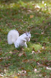 White Squirrel, Brevard, NC. A white squirrel from Brevard, NC in a grassy field Stock Image