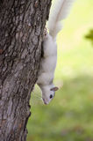 White Squirrel, Brevard, NC. A white squirrel from Brevard, NC on a tree Royalty Free Stock Images