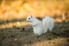 White squirrel burying nuts Royalty Free Stock Photography