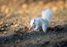 White squirrel burying nuts Stock Photos