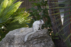 White squirrel in central Florida. A white squirrel found in the central Florida Stock Photos