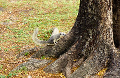 White squirrel climbing down a tree. Cute looking small furry animal Royalty Free Stock Image