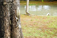 White squirrel climbing down a tree. Cute looking small furry animal Stock Photos