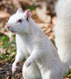 White Squirrel Close By Stock Photography