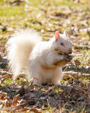 White Squirrel Digging in Mud for Stored Nuts Stock Images