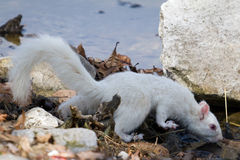 White Squirrel Drinking at the Lake Stock Images