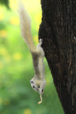 White Squirrel eating snack. On tree Royalty Free Stock Photos