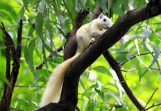 White Squirrel eating snack on tree. In nature Royalty Free Stock Image