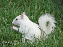 White Squirrel Royalty Free Stock Photography