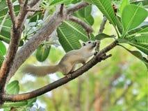 White Squirrel. On Frangipani tree Royalty Free Stock Images