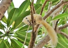 White Squirrel. On Frangipani tree Royalty Free Stock Photography