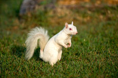 White squirrel in the grass Stock Images