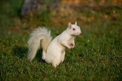 White squirrel in the grass Royalty Free Stock Photography