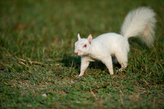 White squirrel in the grass Stock Photos