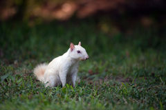 White squirrel in the grass Stock Photography
