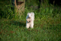 White squirrel in the grass Royalty Free Stock Photo