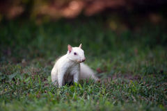 White squirrel in the grass Royalty Free Stock Photos