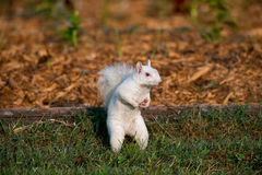 White squirrel in the grass Stock Photo