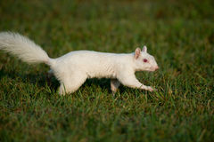 White squirrel in the grass Royalty Free Stock Images