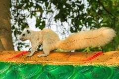 White squirrel is on a green wall . royalty free stock photography