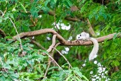 White squirrel hides in shadow of the leaves on big branches tree. White squirrel hides in the shadow of the leaves on big branches tree adorable animal stock photos