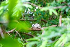 White squirrel hides in shadow of the leaves on big branches tree. White squirrel hides in the shadow of the leaves on big branches tree adorable animal royalty free stock photo