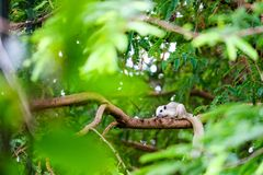 White squirrel hides in shadow of the leaves on big branches tree. White squirrel hides in the shadow of the leaves on big branches tree royalty free stock image
