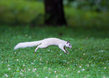 White squirrel leaping over clover Royalty Free Stock Photos