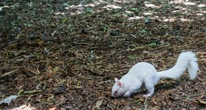 Albino Squirrel stock photography